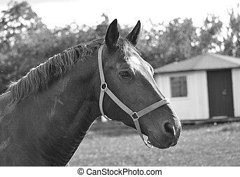caballo, 2, negro