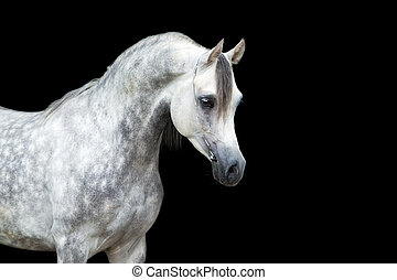 caballo blanco, aislado, en, negro