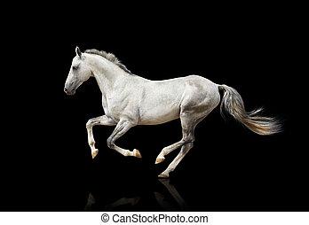 caballo blanco, aislado