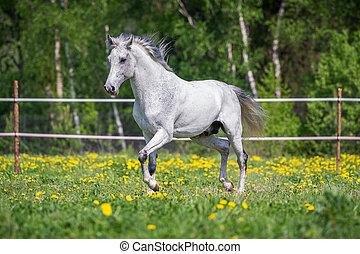 caballo blanco, corriente, en, el, pasto, en, verano
