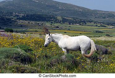 caballo blanco, en, el, campo