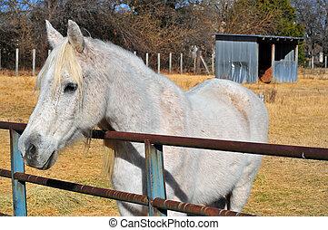 caballo blanco, y, cobertizo