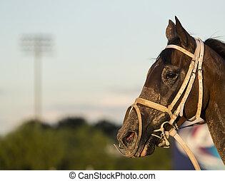 caballo, carreras, competitivo