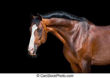 caballo de la bahía, aislado, en, negro