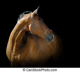 caballo de la bahía, en, negro