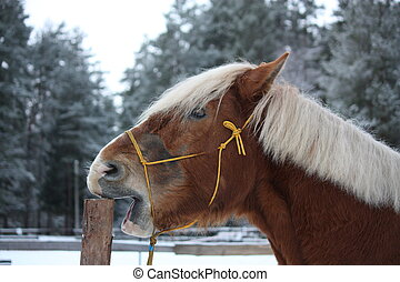 caballo de madera, cribbing, palomino, cerca