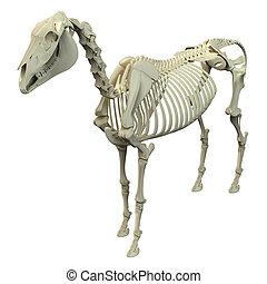caballo, esqueleto, -, aislado, anatomía, blanco, equus