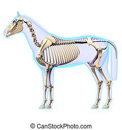 caballo, esqueleto, -, aislado, anatomía, blanco, lado, equus, vista