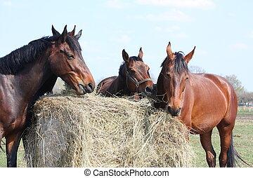 caballo, manada, comida, heno