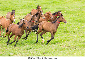 caballo, manada, corriente, en, el, campo