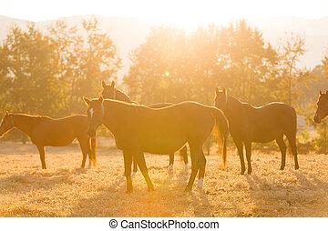 caballo, manada, en, rancho