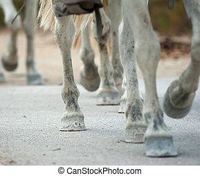 caballo, pezuñas, cicatrizarse