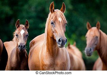 caballos, árabe, manada