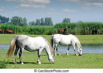 caballos blancos, en, pasto, granja, escena