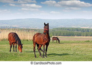 caballos, campo, pasto