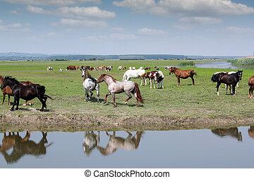 caballos, corriente, en, campo, granja, escena