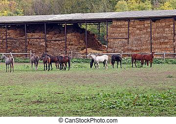 caballos, en, granja, otoño, estación