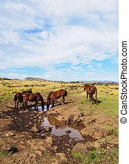 caballos, en, isla de pascua, chile