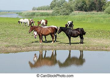 caballos, en, orilladel río