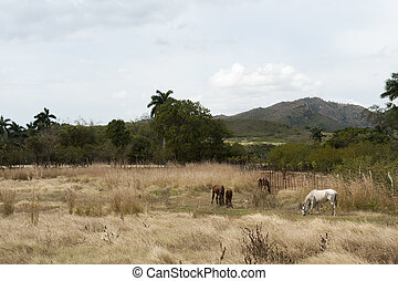 caballos, en, pasto, en, trinidad, campo, cuba