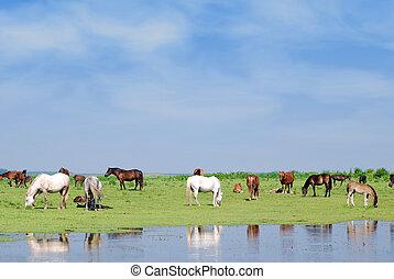 caballos, en, regar, lugar