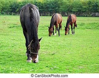 caballos, granja, escena