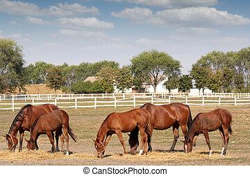 caballos, marrón, granja, escena