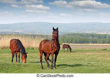 caballos pacer, en, campo