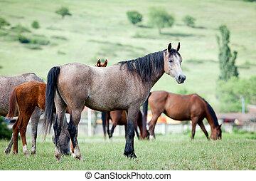 caballos, pasto, árabe, manada