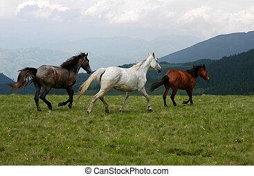 caballos salvajes, en, rumano, montaña, rodna.