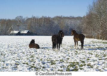 caballos, winter., nevoso