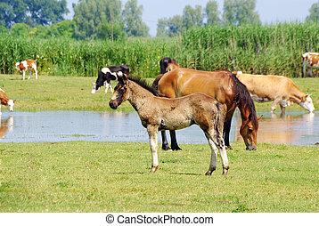 caballos, y, vacas, en, pasto