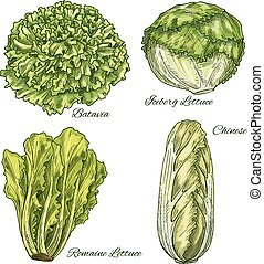 Cabbage and lettuce vegetable isoletad sketch - Cabbage and...