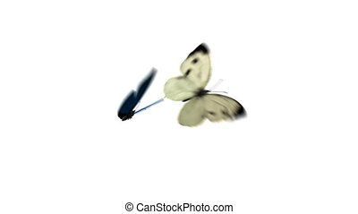 Cabbage and Morpho Menelaus Butterflies Flying - Cabbage and...