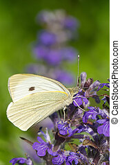 Cabbage butterfly closeup on a blue flower. vertical macro
