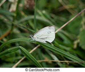 Cabbage butterfly on a blade of grass