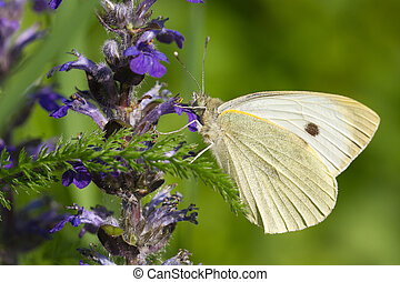 Cabbage butterfly on a blue flower. macro horizontal -...