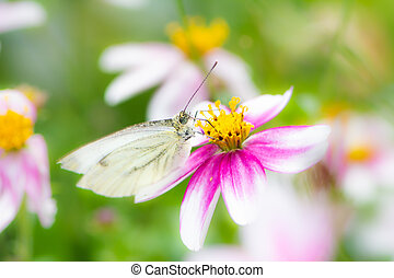 Cabbage butterfly on a flower blossom