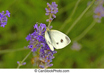 cabbage butterfly on lavender flower