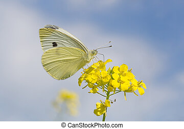 cabbage butterfly on yellow flowers