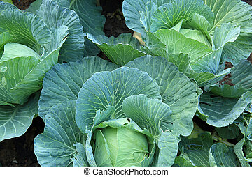 cabbage crops in growth at field