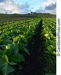 Cabbage Crops - Rows of cabbage leading up to farm on a...