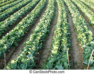 Cabbage field , agriculture in thailand - Cabbage field ,...
