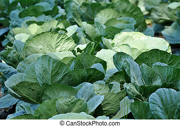Cabbage Field Close-Up