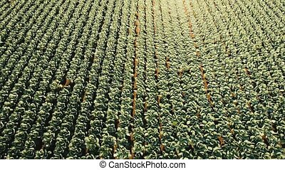 Cabbage field, drone footage.