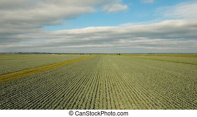 Cabbage field, drone footage. - Aerial view of a freshly...