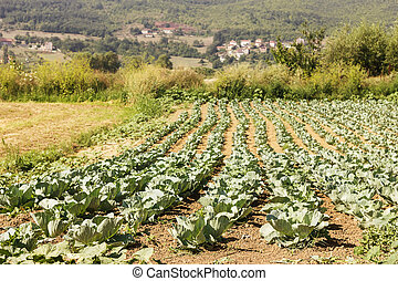 Cabbage field in summertime