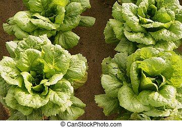 Cabbage fields in Spain, rows of vegetable food