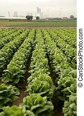 Cabbage fields in Spain