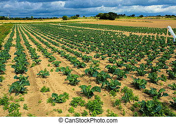 cabbage fields